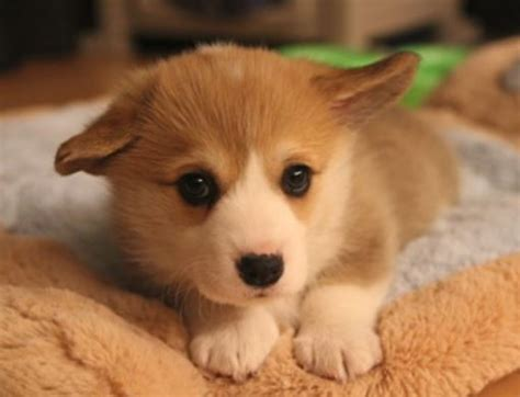 how much do corgi puppies cost puppy pictures of corgi jpg