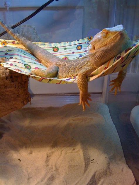 how often do bearded dragons go to the bathroom best 25 bearded dragon ideas on pinterest bearded