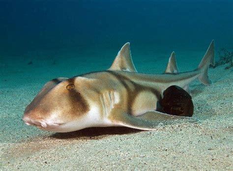 jackson shark jackson shark chondrichthyes