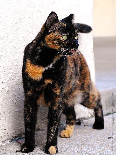 tortoiseshell cat we love cat