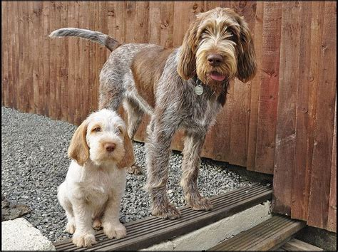 spinone italiano puppy spinone italiano italian spinone gorgeous loveable of