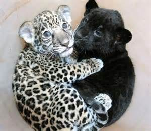 Bombay Bench A Baby Jaguar Cuddling With A Baby Panther Pics