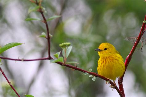 bird of the day yellow warbler horicon marsh wisconsin