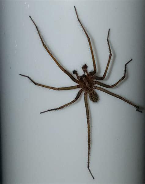 giant house spider oregon overview for emhcee