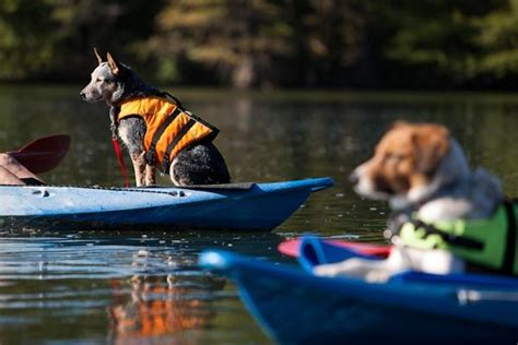 canoeing with dogs 60 best pets who paddle images on canoeing kayaking and boats
