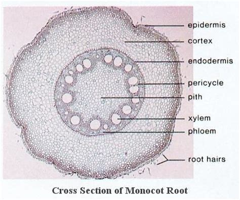 cross section of a monocot flashcards exercise 5 studyblue