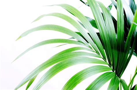 palm leaves  stock photo public domain pictures
