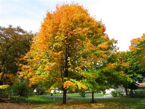 maple tree value sugar maples acer saccharum yum accent on landscaping
