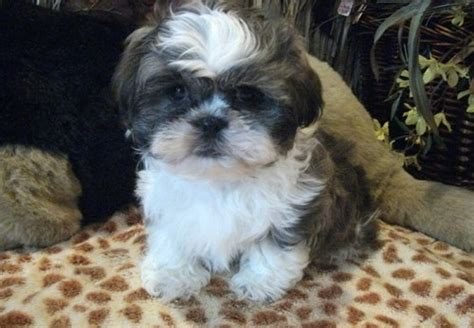 trained shih tzu puppies for sale and well trained shih tzu puppies for sale pets for sale in the uk