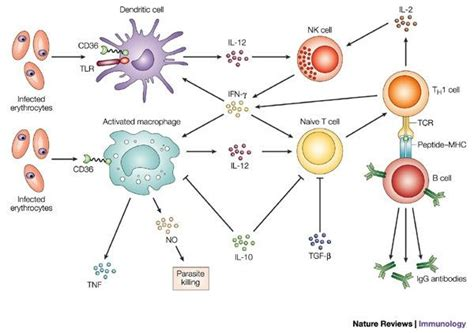 innate immunity a question of balance what is non specific innate immunity and specific innate
