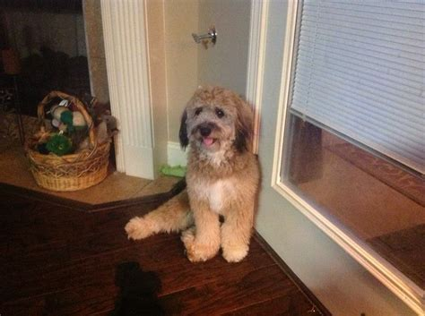 aussiedoodle puppies hair cuts 35 best images about aussiedoodle on pinterest best dogs