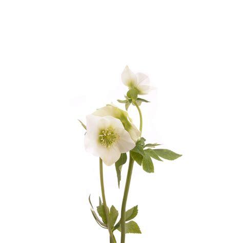 white hellebore hellebores types of flowers flower muse