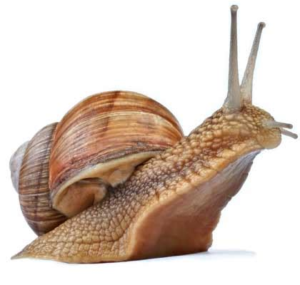 terrestrial snail pictures about animals snail facts and information