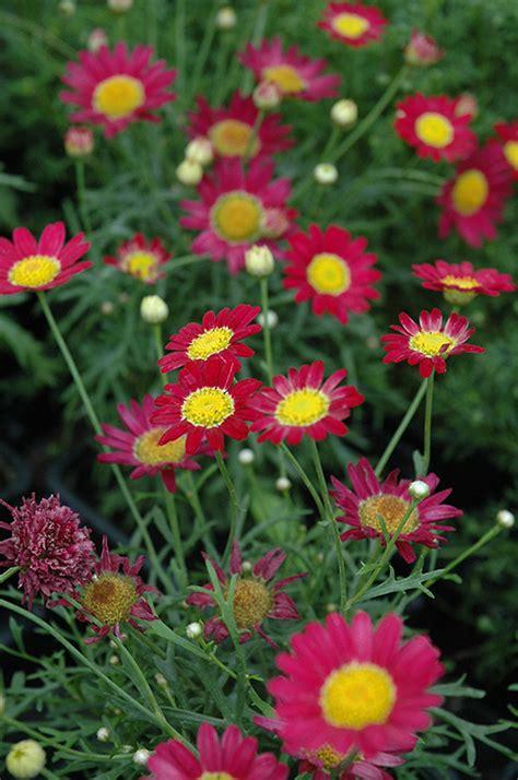 Home Decor Winnipeg by Madeira Red Marguerite Daisy Argyranthemum Frutescens