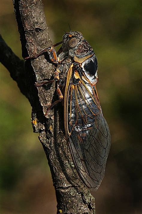 black locust tattoo 146 best cicadas images on bugs insects