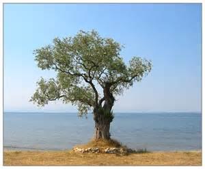 olive tree wallpaper hotel r best hotel deal site