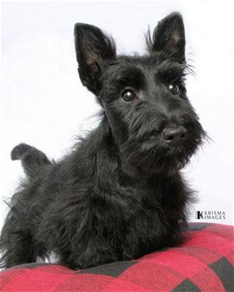 how to give a scottish terrier a hair cut 212 best images about scottie dogs on pinterest scottish