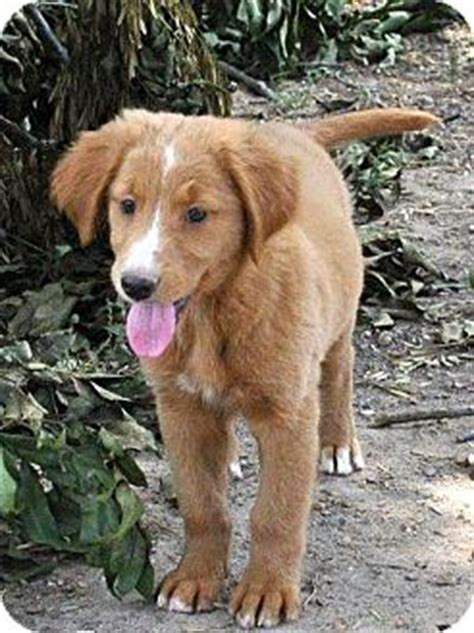 collie golden retriever mix puppies tamara adoption pending adopted puppy litchfield ct border collie golden