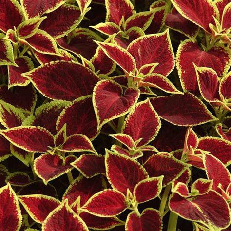 coleus seeds 41 varieties annual flower seeds