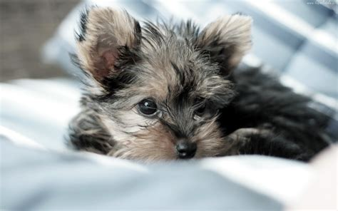 Teacup Yorkie Puppies For Sale Mn Breeds Picture
