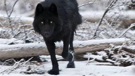 black wolf black wolf wallpapers wallpaper cave