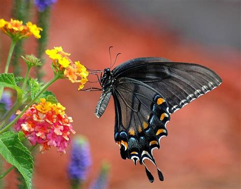What Does It Mean When You See A Butterfly Flying Butterfly Meanings