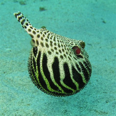 puffer fish evolution of trypophobia a fear of holes business insider