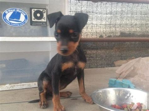 mini doberman pinscher puppies miniature doberman pinscher puppies for sale breeds picture