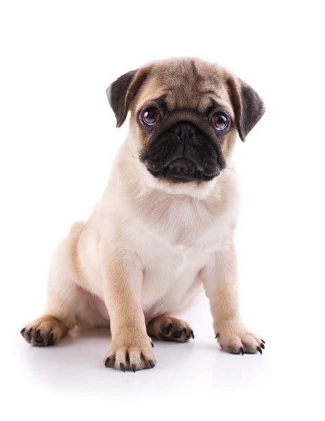 pug allergies 5 things you didn t about pugs