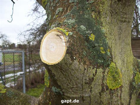 walnussbaum schneiden wann walnu 223 baum gef 228 hrdet hausdach
