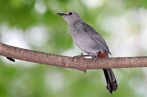 file gray catbird jpg wikimedia commons