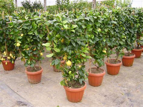 limone in vaso cure le cure autunnali agli agrumi in vaso pollicegreen