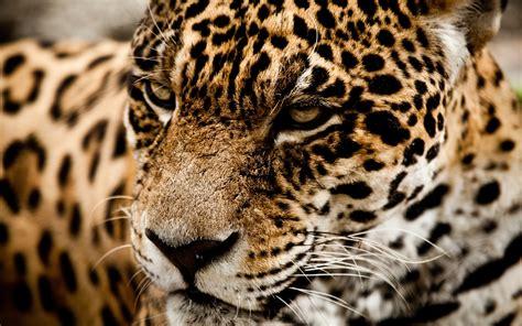 jaguar and cat jaguar cat muzzle l wallpaper 2560x1600 166512