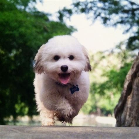 coton de tulear puppy cut the gallery for gt havanese black and white puppy cut