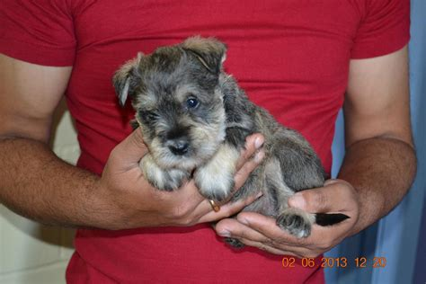 miniature schnoodle puppies miniature schnoodle puppies for sale 9th june 2013