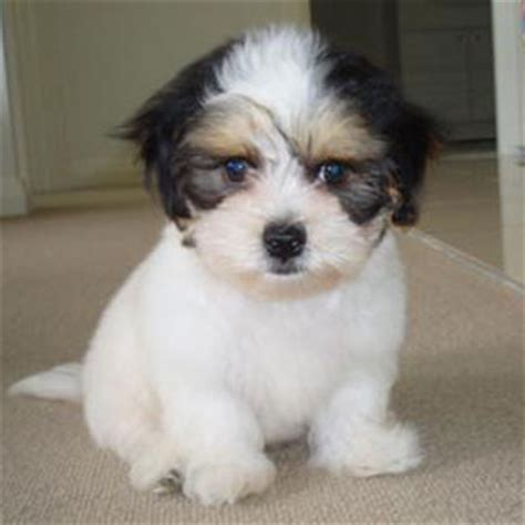 shih tzu maltese cross is a maltese shih tzu mix the right for you