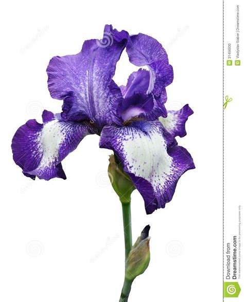 violet iris flower isolated stock photo image 31456930