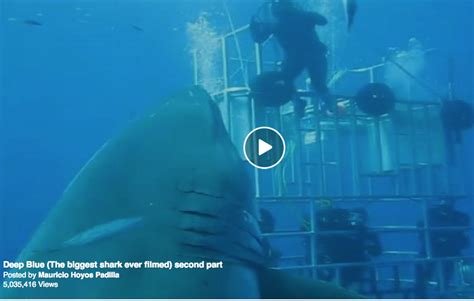what is the largest great white shark ever recorded primer is this the biggest great white shark ever filmed