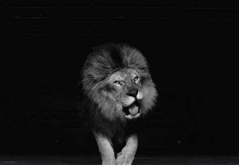 film with a black lion amazing animated lion gifs best animations