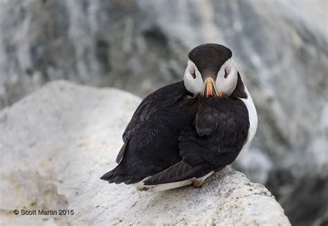 puffins of machias seal island scott martin photography