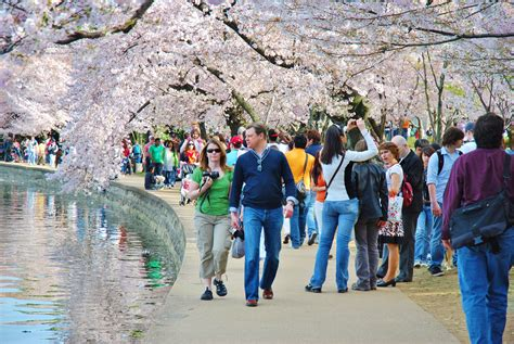 cherry blossom festival dc 17 stunning cherry blossom pictures to get you in the
