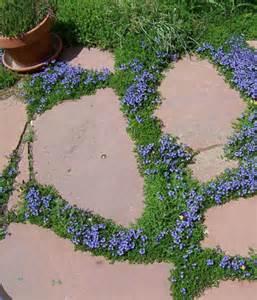 Fall Gardening Zone - turkish speedwell payne s nurseries