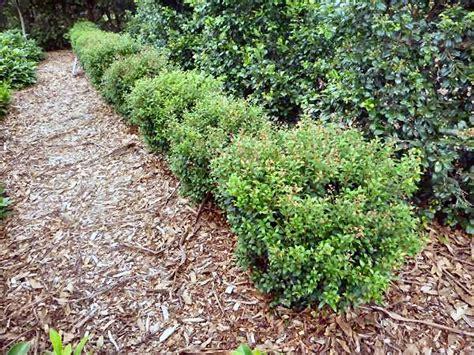 tiny plant angus s top ten australian plants for hedges gardening