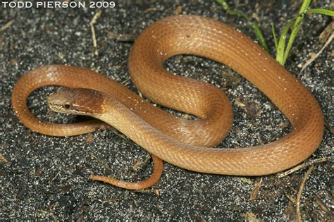 copper colored snake archives what snake is that