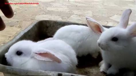 white baby rabbits