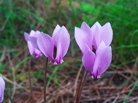 file cyclamen hederifolium 004 jpg wikimedia commons