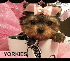 teacup yorkie clothing 1000 images about jojo s yorkie pin on terrier yorkie and