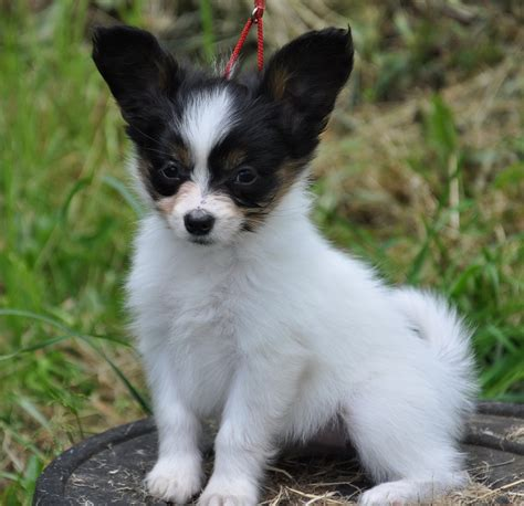 pictures of papillon dogs puppy pictures of papillon dogs breeds puppies pictures of papillon dogs