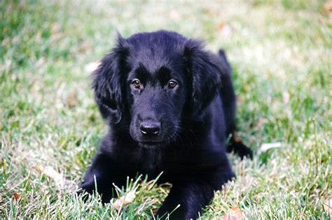 Flat Coated Retriever Shedding by