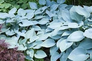 Kitchen Reno Ideas Hosta Plants Varieties By Color Care Slug Control